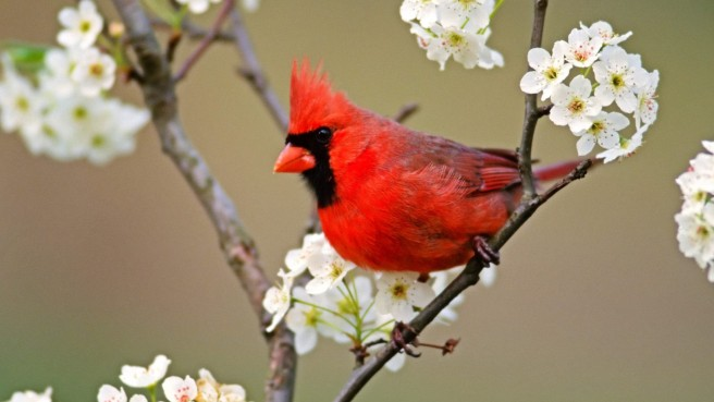 cute-cardinal-wallpaper-1920x1080